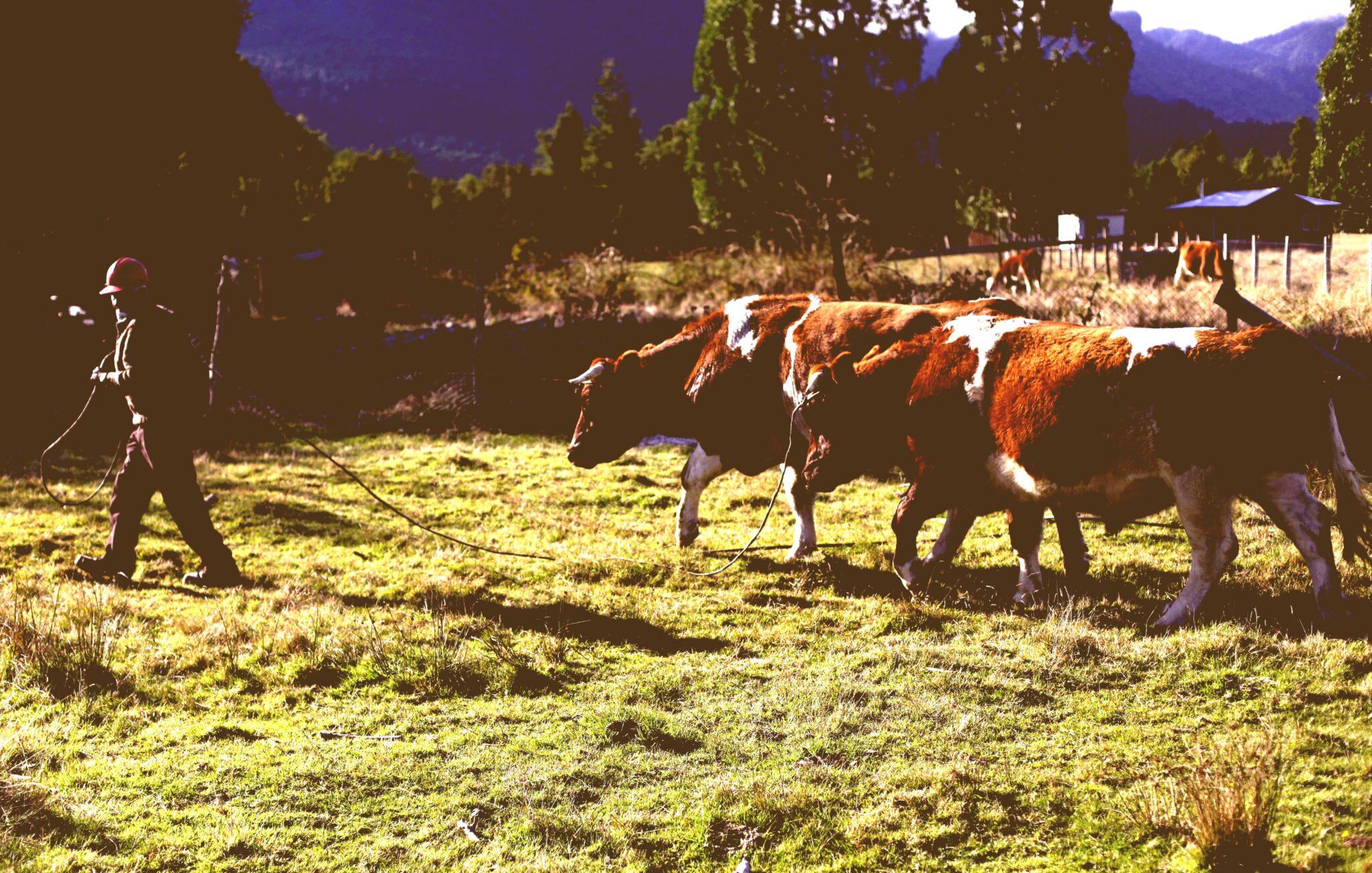 A UNO 516285 antique 394x218 - Sequía en Coquimbo obliga a ganaderos a trasladar animales a Región del Ñuble