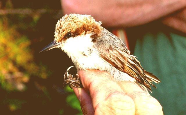Trepatroncos de bahama antique 288x180 - Víctimas inocentes: Huracán Dorian habría provocado la extinción de un pequeño pájaro en Bahamas