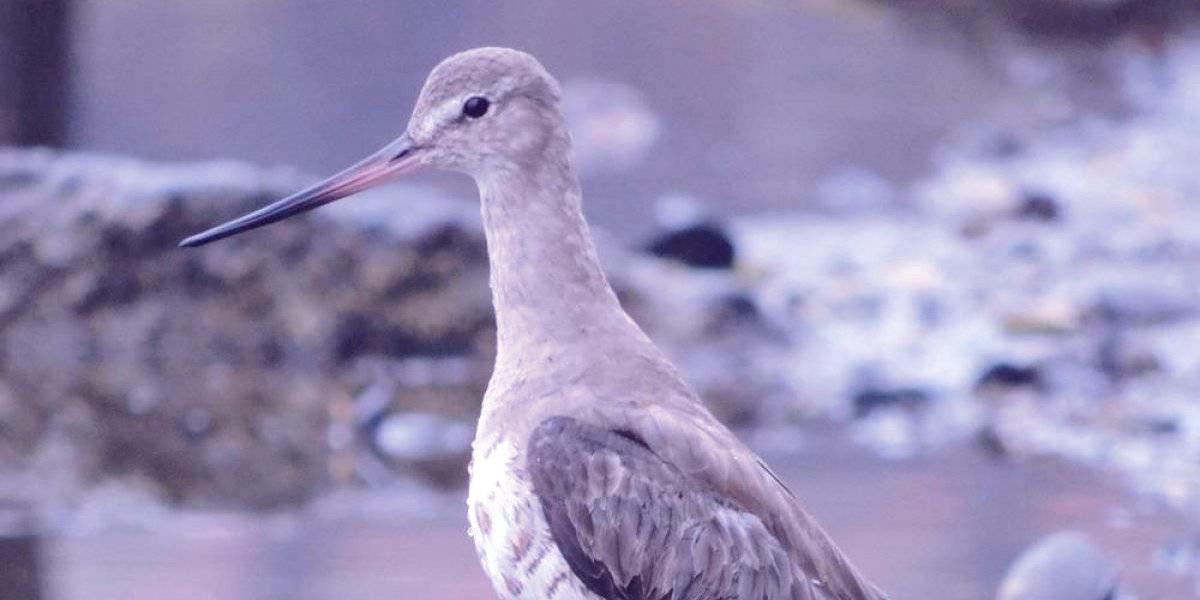 zarapitodepicoreuaustraltomaterojo freshblue 288x180 - Peligra una de las maravillas de la naturaleza: acción humana en costas chilenas amenaza travesía de aves migratorias