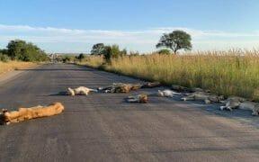El coronavirus en Sudáfrica ha afectado a su fauna en los sectores en cuarentena