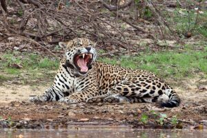 Jaguar austral (Panthera onca palustris), macho, bostezando en la ribera del río Negro, Pantanal, Brasil.