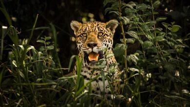 Photo of Brasil: el principal refugio de jaguares de Sudamérica agoniza acorralado por las llamas