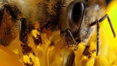 Photo of Extinción de las abejas: algo que América Latina debería evitar a toda costa