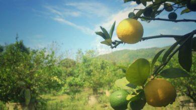 Photo of ¿Cómo plantar limón?
