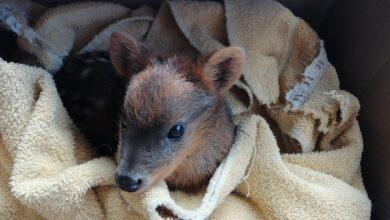 Photo of Colmevet alerta desprotección de fauna silvestre de Chiloé: 40 pudúes mueren al año