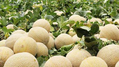 guía cultivo de melon / cómo cultivar melón